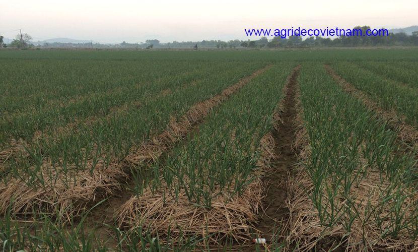 Field of garlic