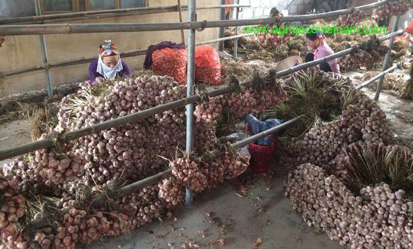 Fresh garlic warehouse