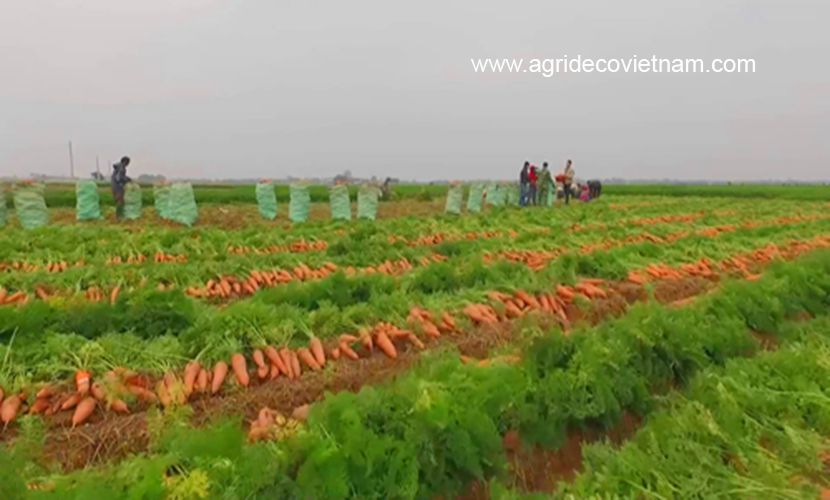 Fresh carrots: Harvesting in Hai Duong province