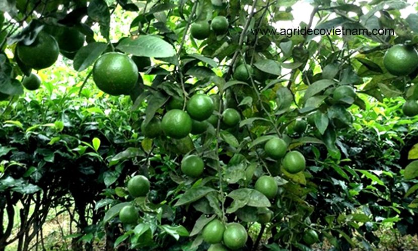 Vietnamese seedless lime tree