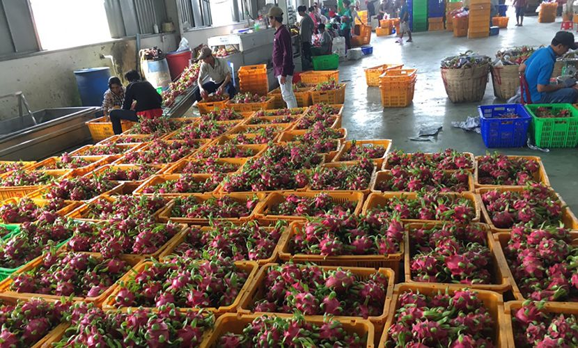 Dragon fruit in Vietnam