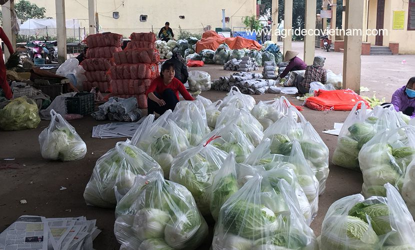 Fresh cabbage: processing chinese cabbage