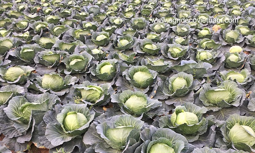 Fresh cabbage: field of materials