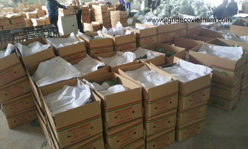 Vietnamese cabbage: Round cabbage for Japanese market