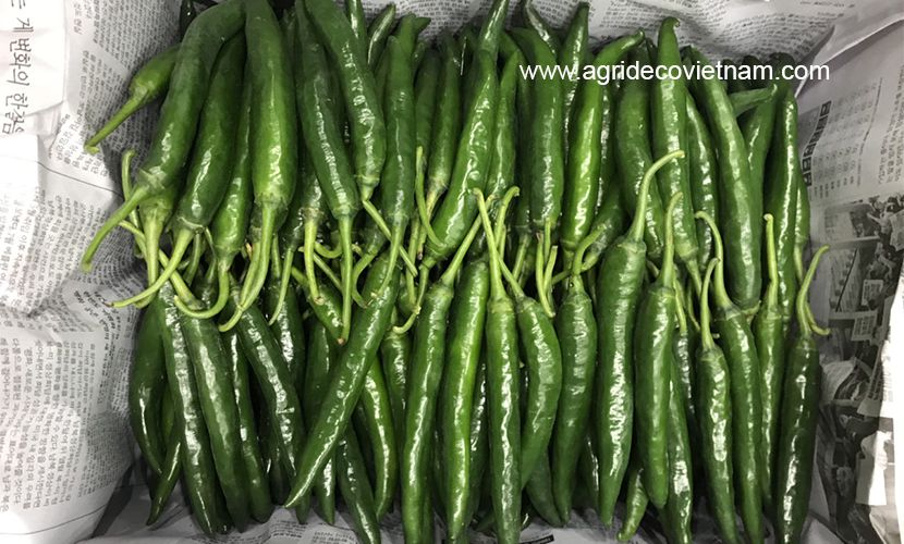 Green big chilli from Vietnam