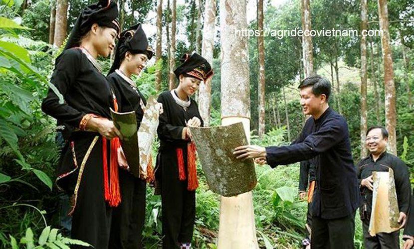 Yen Bai cinnamon