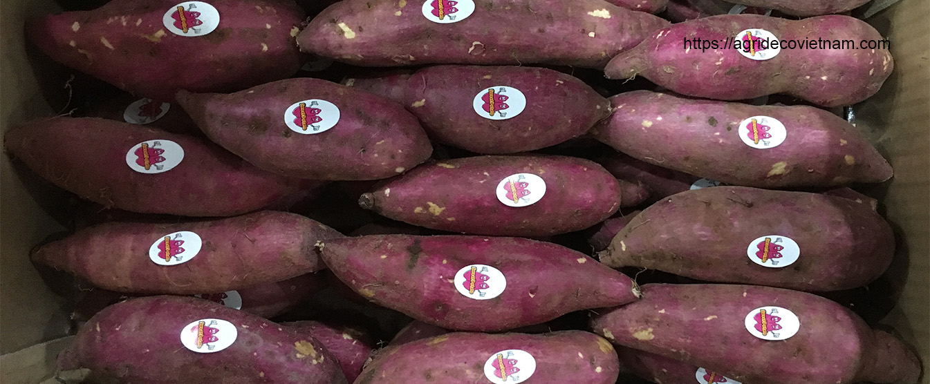 SWEET POTATO FROM VIETNAM