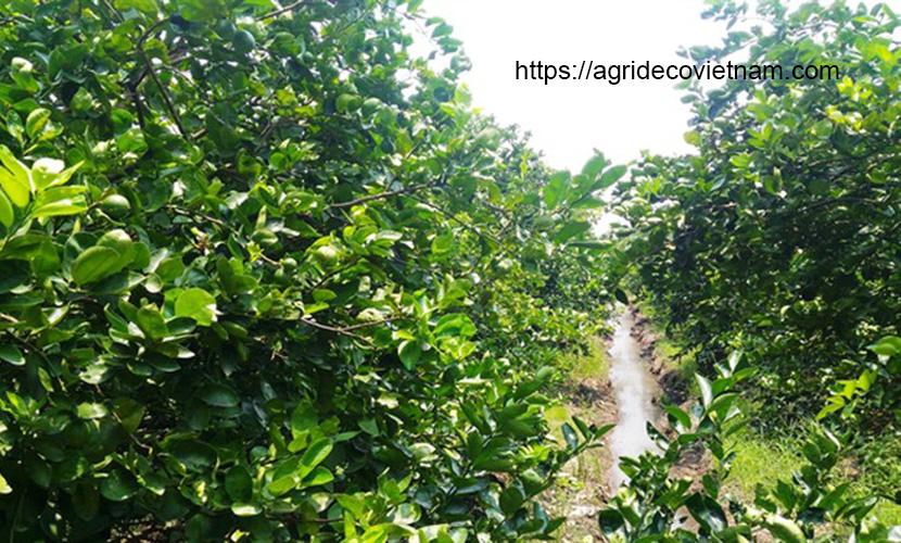 Seedless lime field