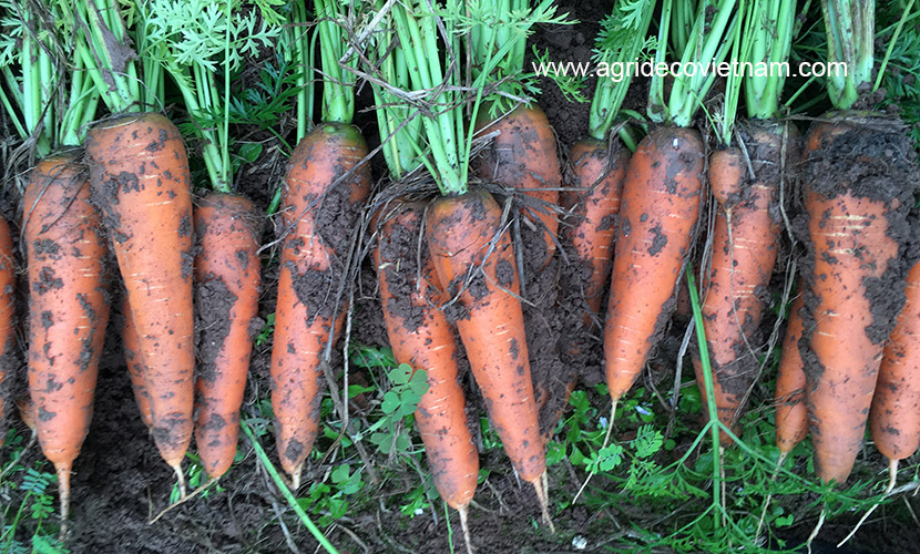 fresh carrots in Vietnam