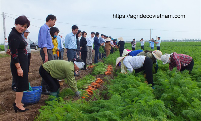 A field of Vietnamese carrots in Duc Chinh commune