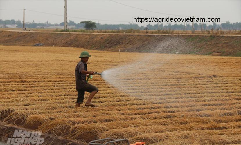 Seeding process of Vietnam carrots