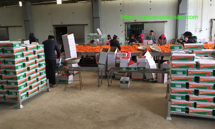 A processing factory of Vietnamese carrots