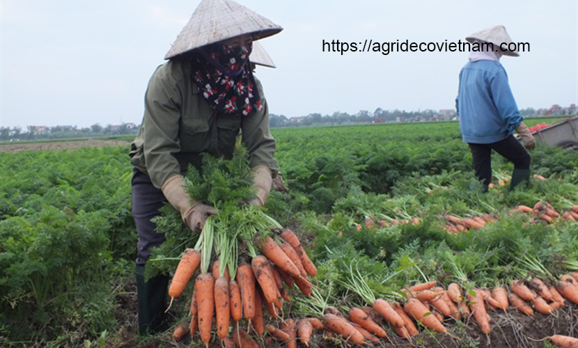 Vietnamese carrots in Hai Duong province