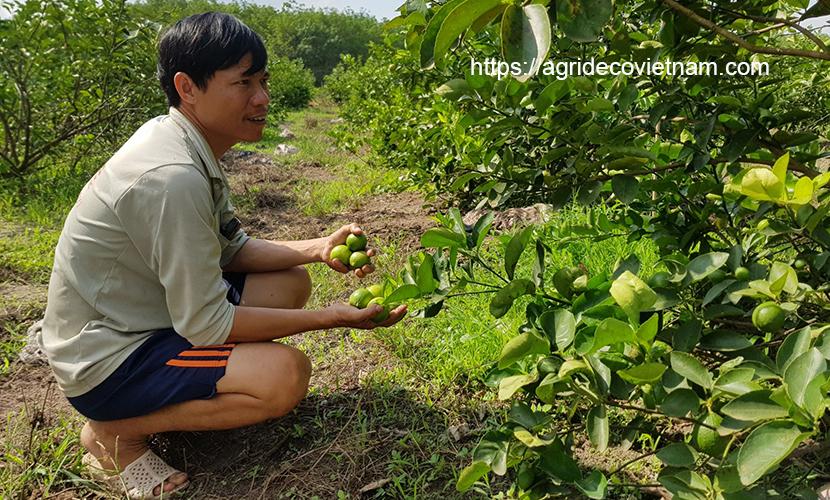 Seedless lime grower