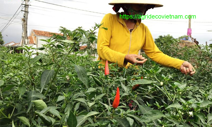 Harvesting chilli in the field