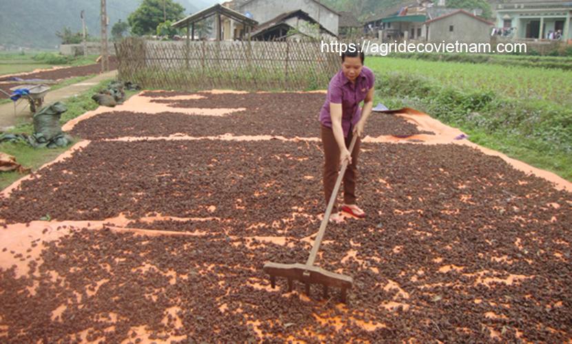 Drying organic star aniseed