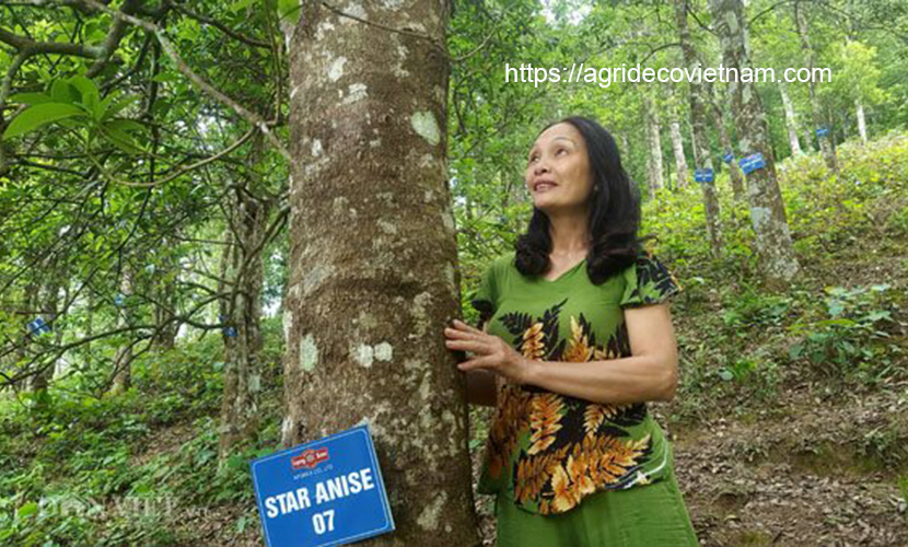 Organic star aniseed forest in Lang Son province