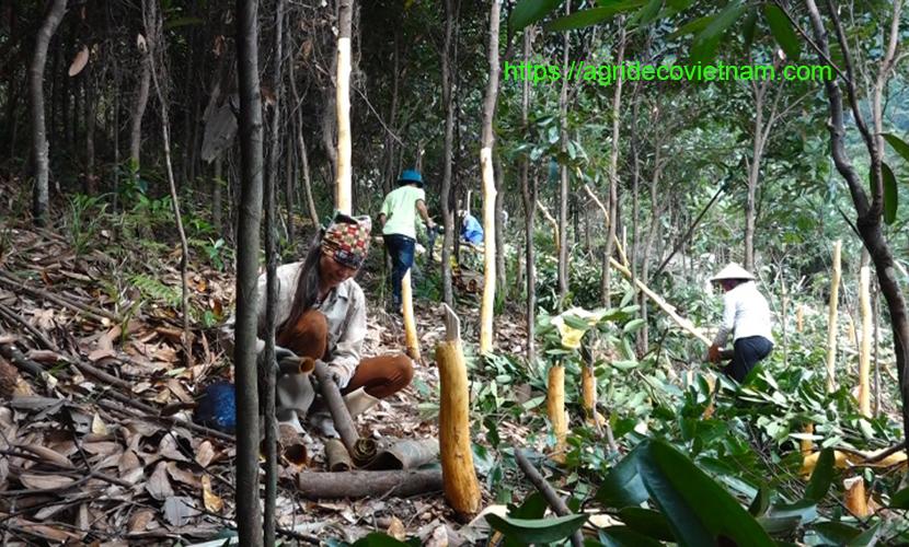 Vietnam organic cinnamon: harvesting process