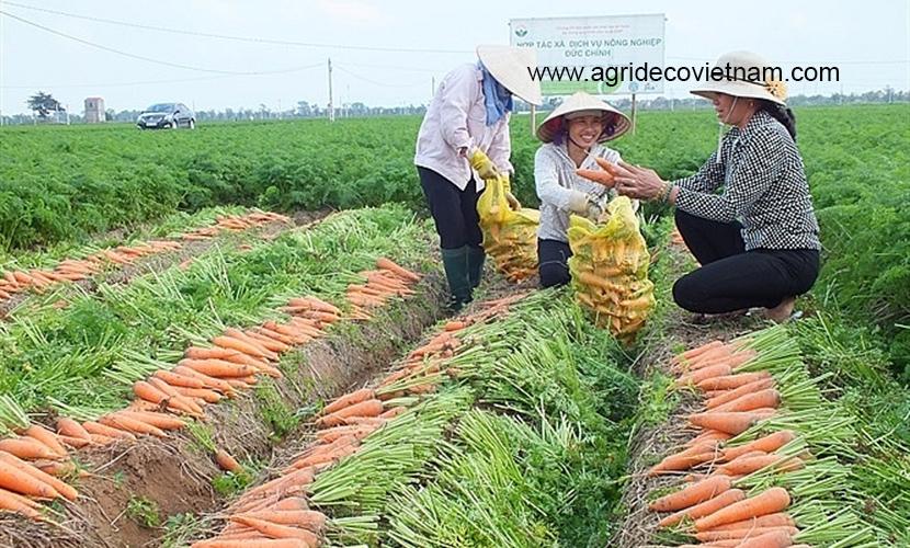 Vietnam carrot: Harvesting process