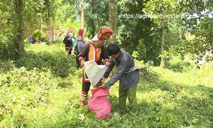 Star aniseed in Binh Lieu