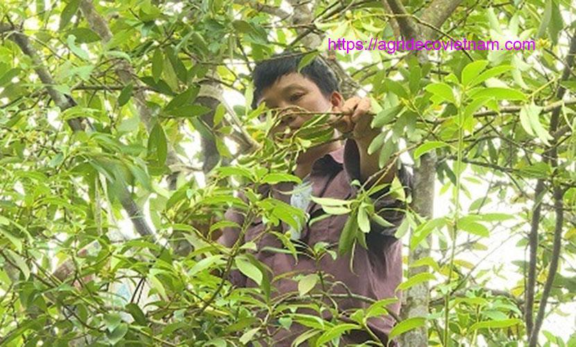 Harvesting star aniseed in Binh Lieu